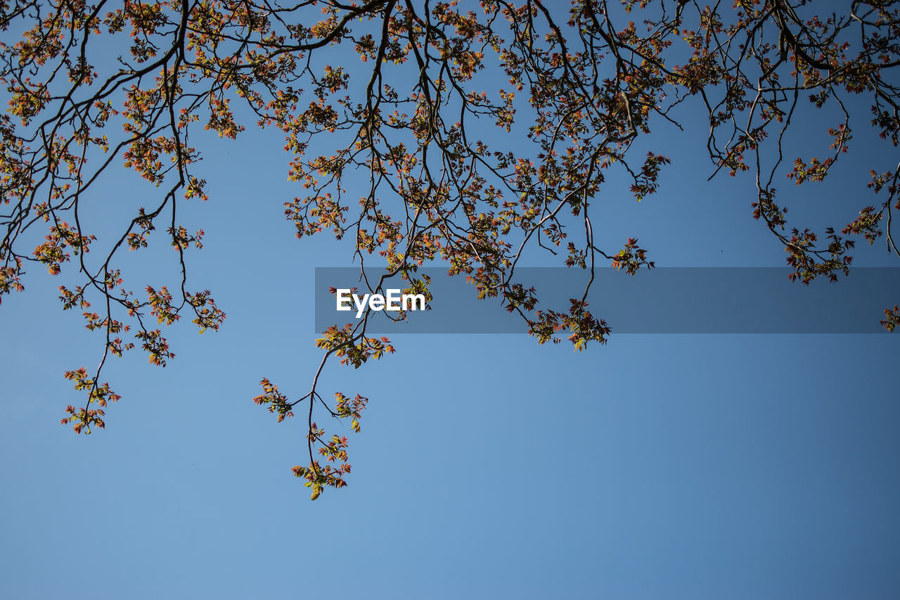 sky, low angle view, plant, blue, tree, beauty in nature, branch, clear sky, growth, nature, day, no people, tranquility, flowering plant, flower, outdoors, fragility, freshness, leaf, blossom, spring, cherry blossom