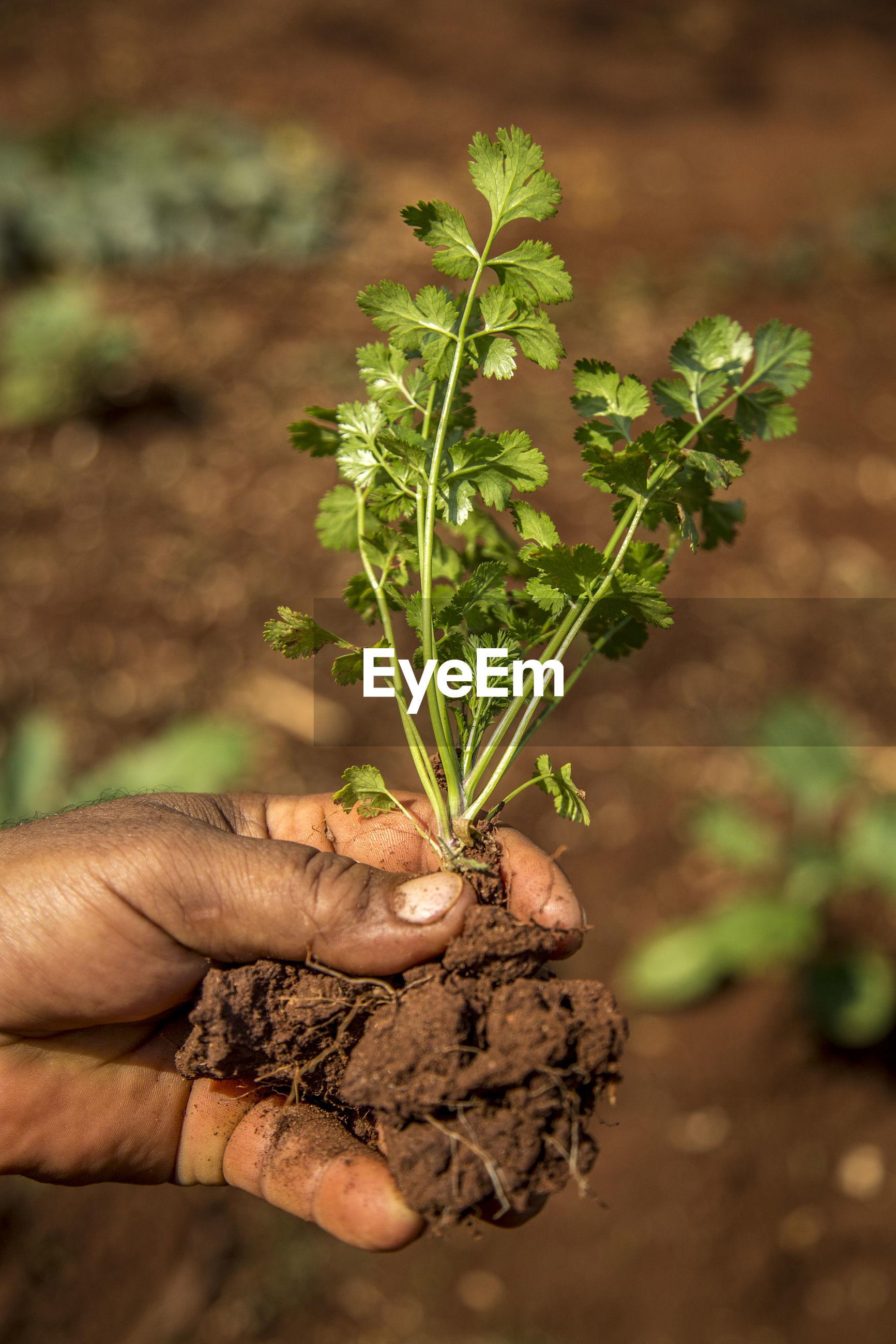 Cropped hand holding cilantro on farm