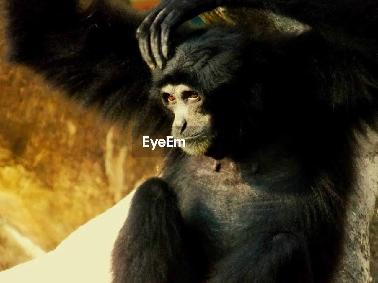 one animal, primate, animal themes, animals in the wild, animal wildlife, mammal, sitting, ape, no people, monkey, gorilla, chimpanzee, day, close-up, outdoors, nature, lemur