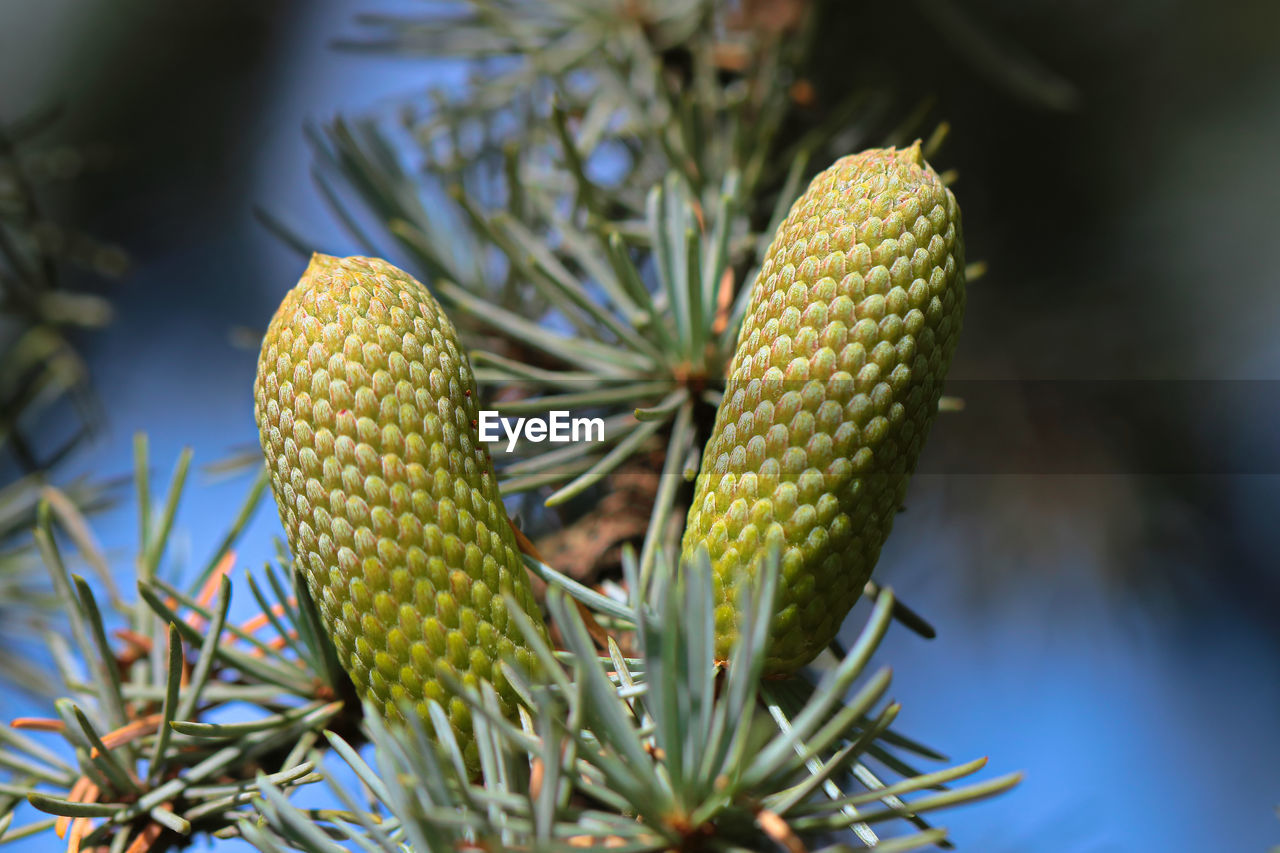 green color, growth, plant, close-up, beauty in nature, no people, day, nature, healthy eating, freshness, focus on foreground, selective focus, succulent plant, food, outdoors, food and drink, cactus, natural pattern, fruit, tree