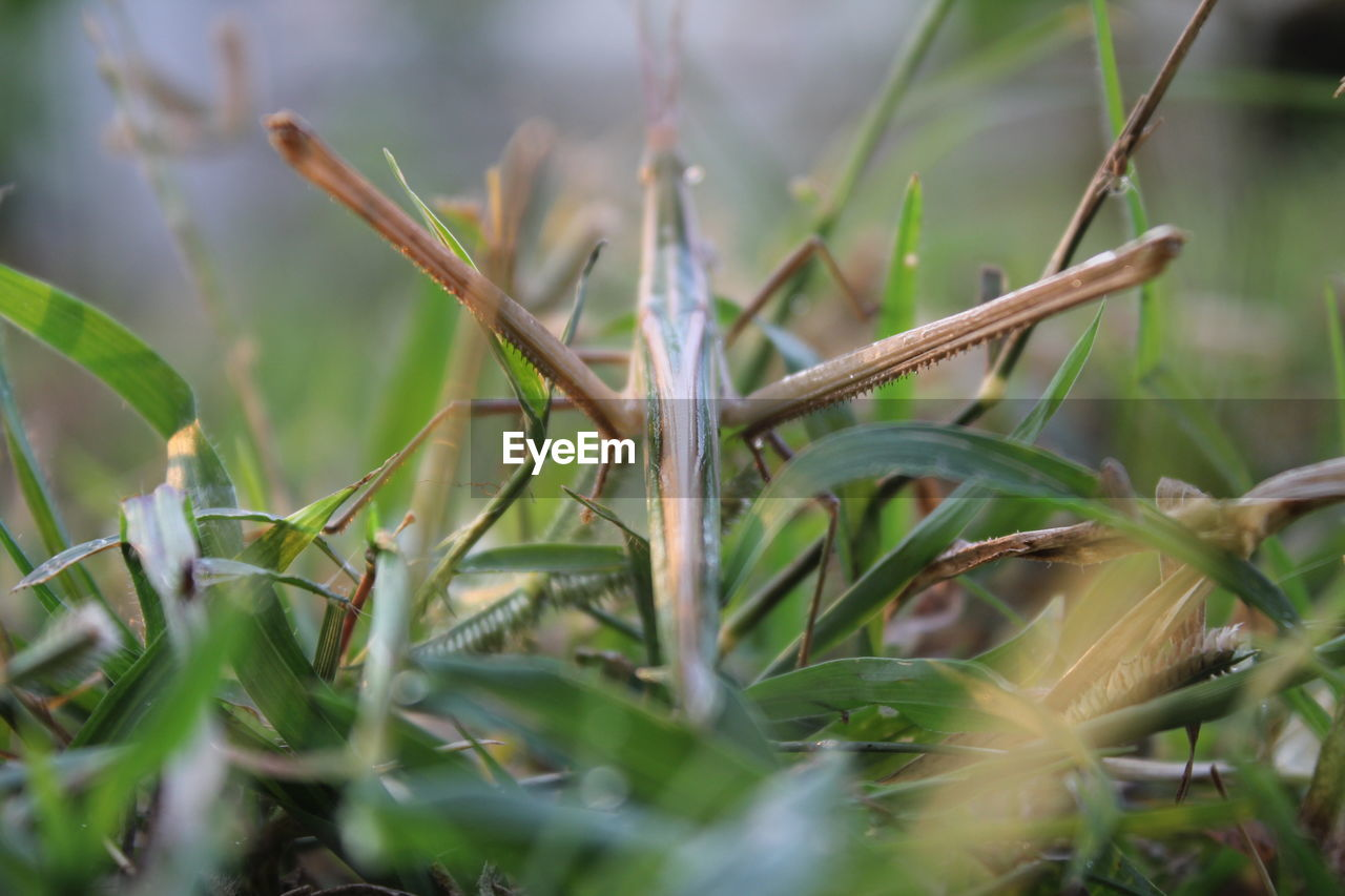 plant, selective focus, close-up, growth, nature, green color, no people, day, grass, field, plant part, leaf, land, one animal, beauty in nature, outdoors, blade of grass, animal, animal themes, wet