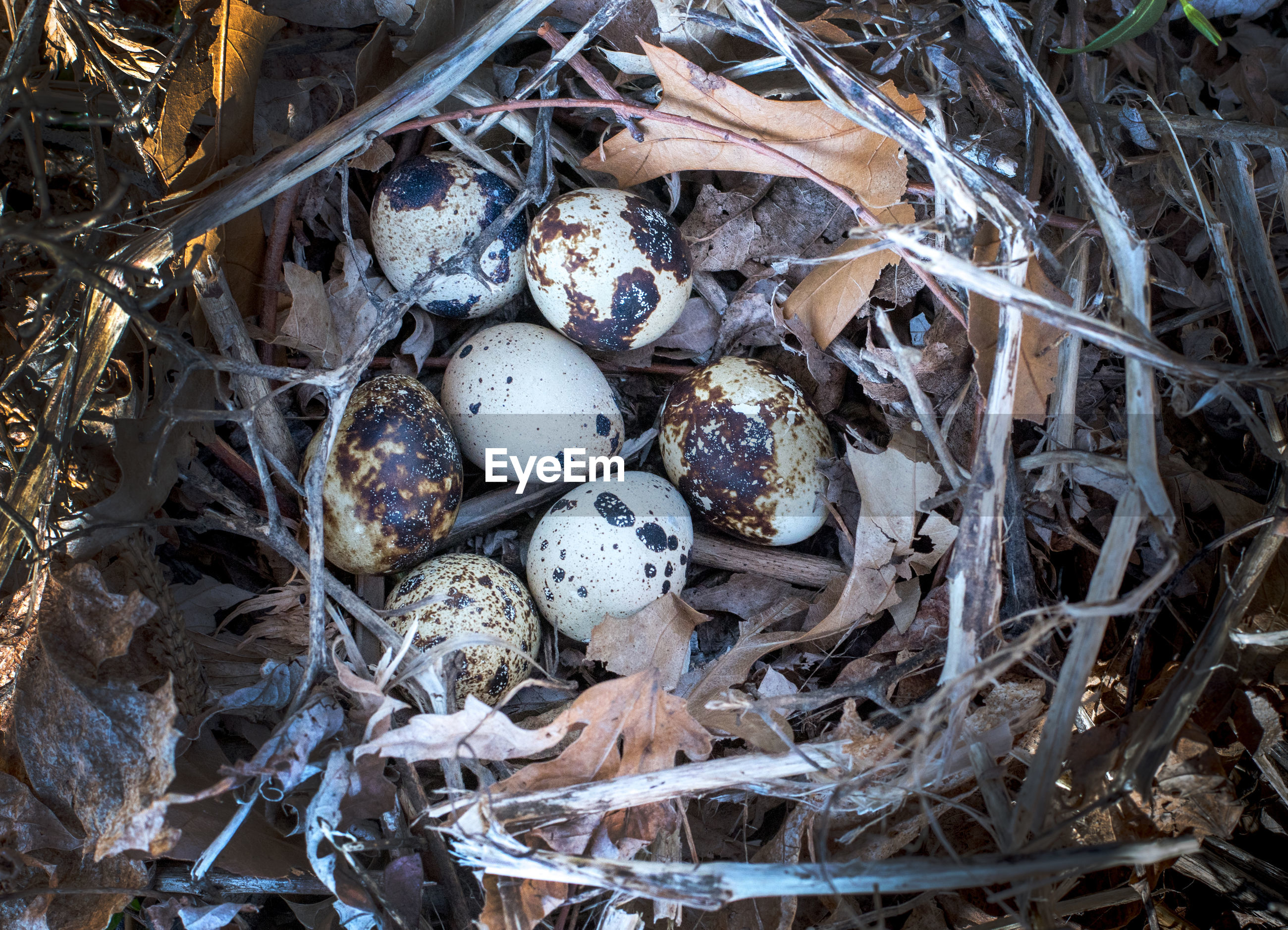 Beautiful speckled quail eggs in a nest on the ground