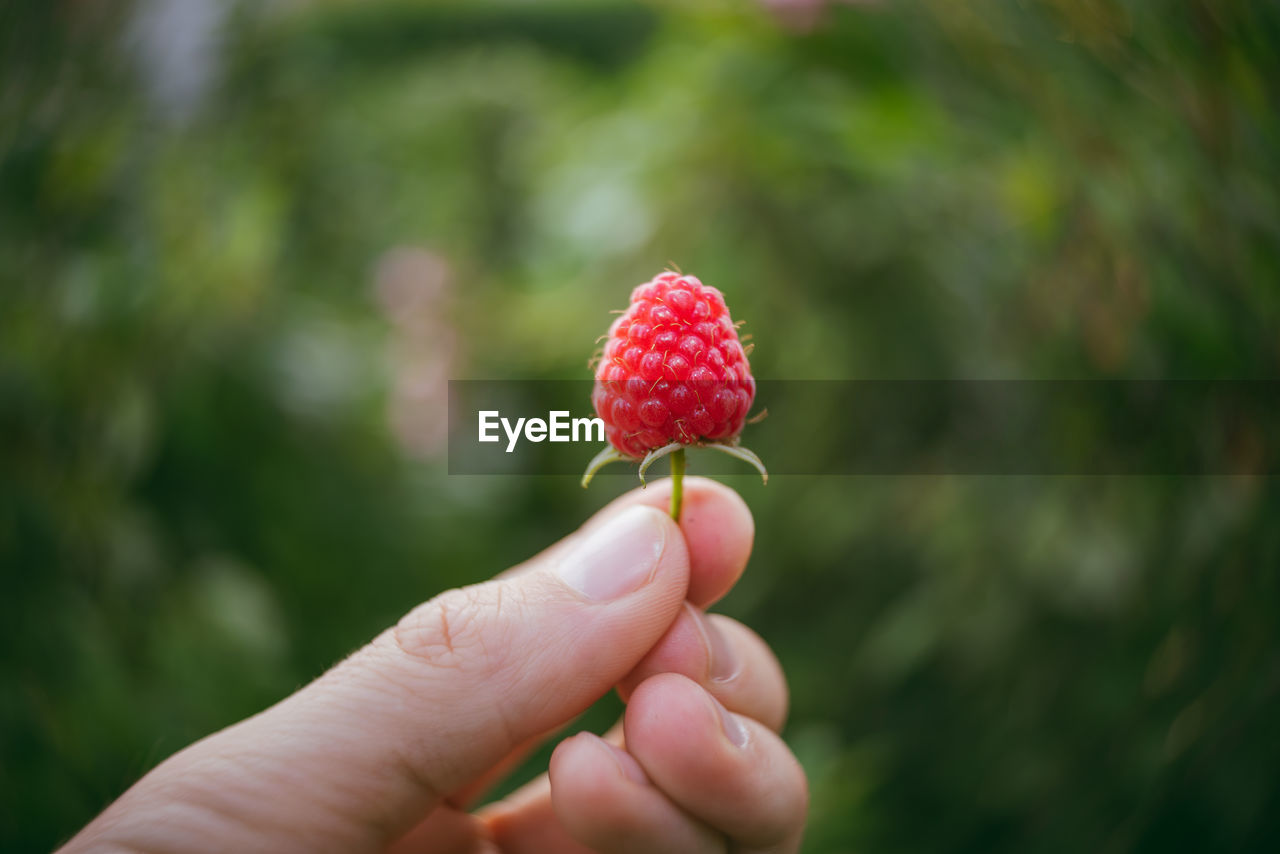 Close-Up Of Hand Holding Raspberry