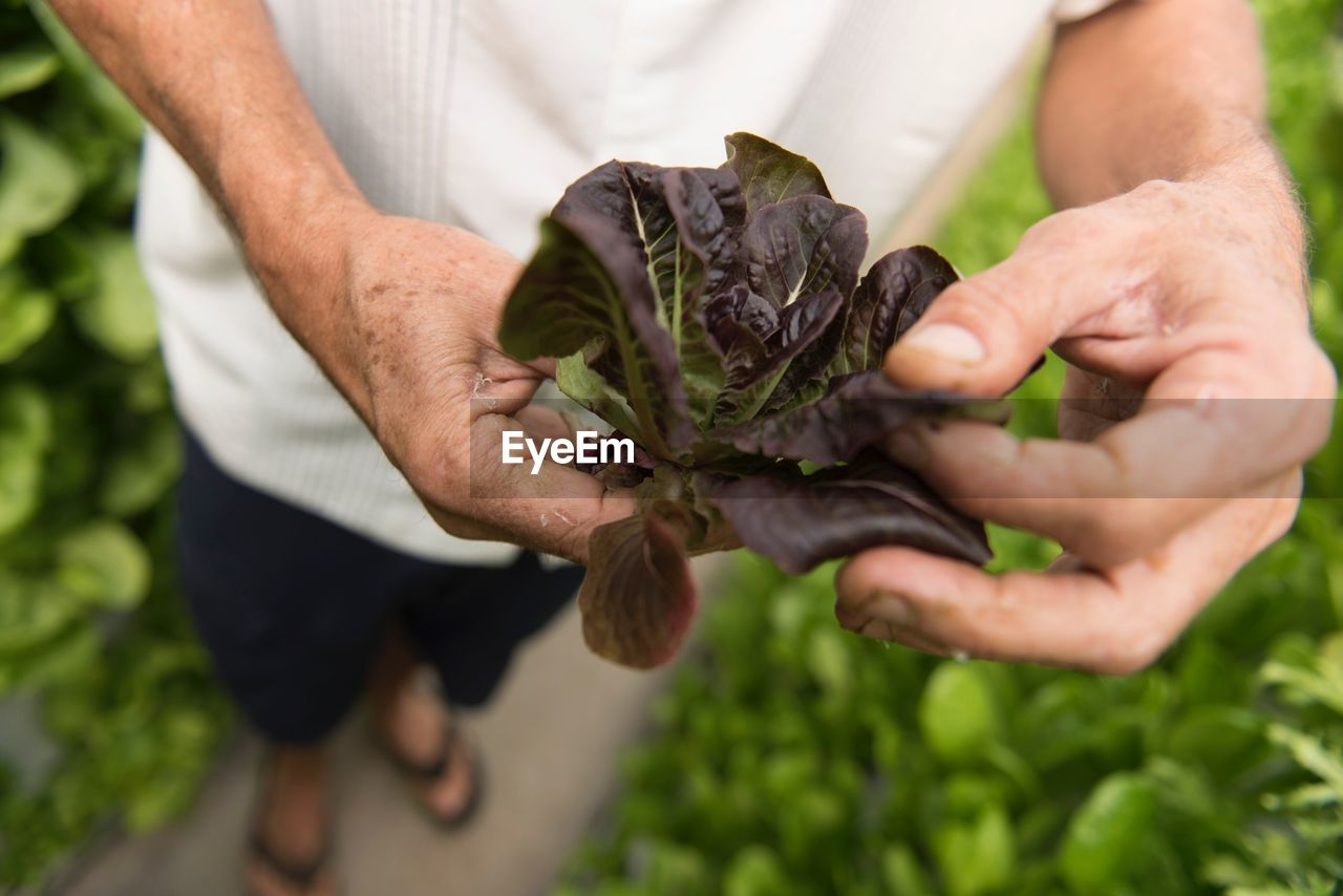 Low Section Of Man Holding Leaf Vegetable