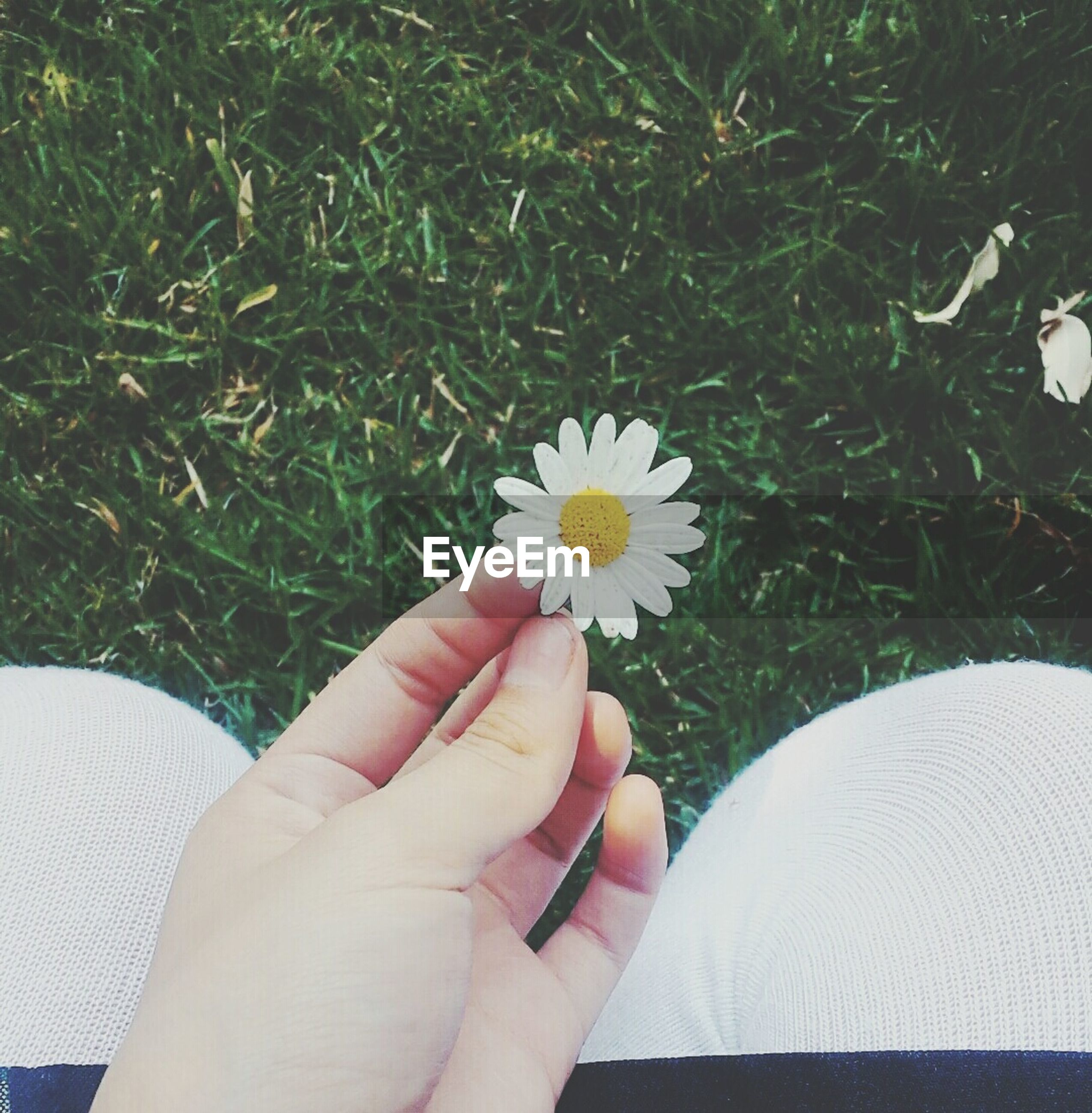 CROPPED IMAGE OF PERSON HOLDING DAISY FLOWERS