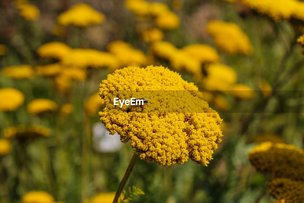 yellow, flowering plant, plant, flower, growth, beauty in nature, vulnerability, fragility, close-up, freshness, flower head, focus on foreground, nature, petal, day, no people, inflorescence, selective focus, invertebrate, animal themes, outdoors, pollination