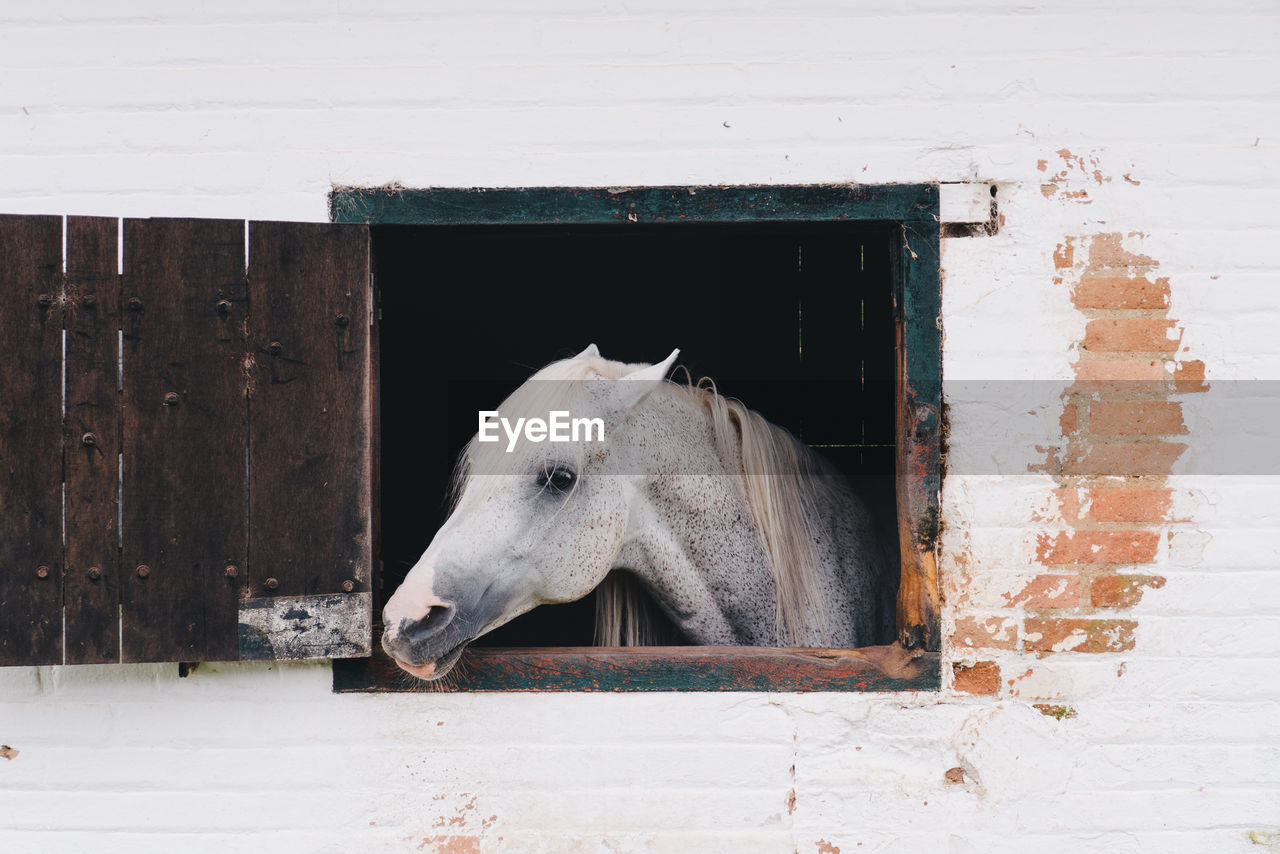 White Horse Looking Through Stable Window