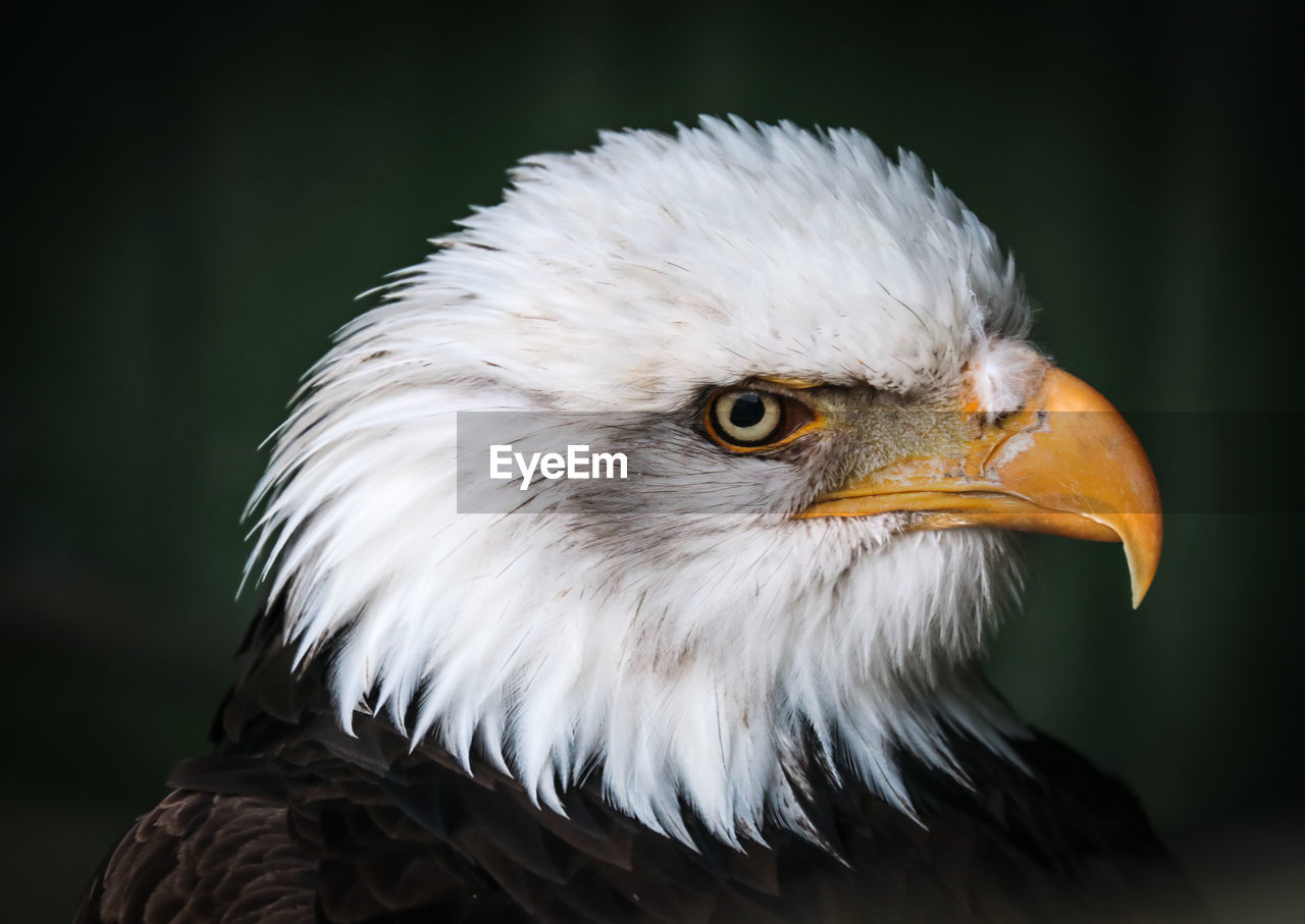 bird, vertebrate, animal themes, animal, one animal, close-up, bird of prey, focus on foreground, animals in the wild, animal wildlife, beak, animal body part, looking, no people, looking away, eagle, day, animal head, eye, nature, outdoors, animal eye, eagle - bird
