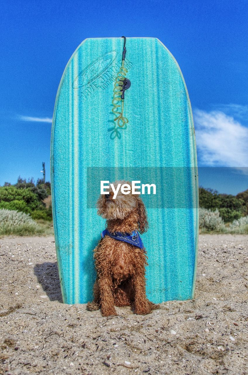 Dog Standing Against Blue Surfboard At Beach