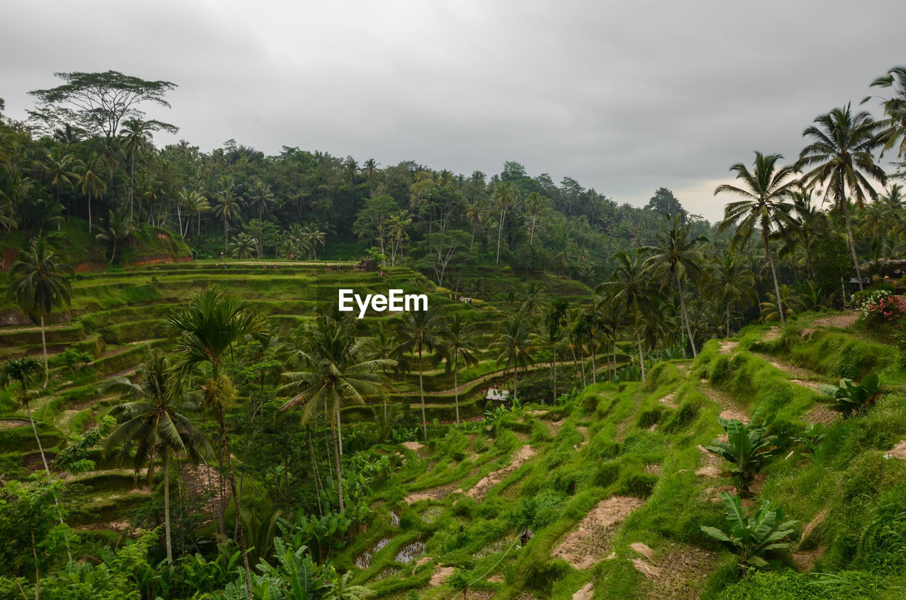 agriculture, growth, nature, field, palm tree, tree, rice paddy, beauty in nature, scenics, landscape, green color, sky, cloud - sky, tranquility, cultivated land, no people, banana tree, terraced field, outdoors, rice - cereal plant, tranquil scene, tropical climate, day, rural scene, plant, grass, freshness