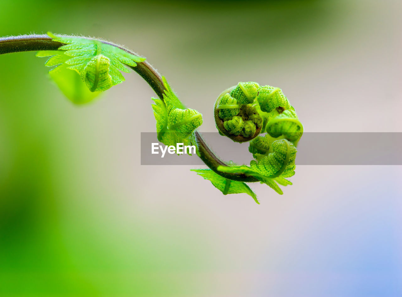green color, plant, close-up, growth, freshness, vegetable, focus on foreground, no people, food and drink, healthy eating, nature, plant part, leaf, food, beauty in nature, day, wellbeing, tendril, selective focus, fragility