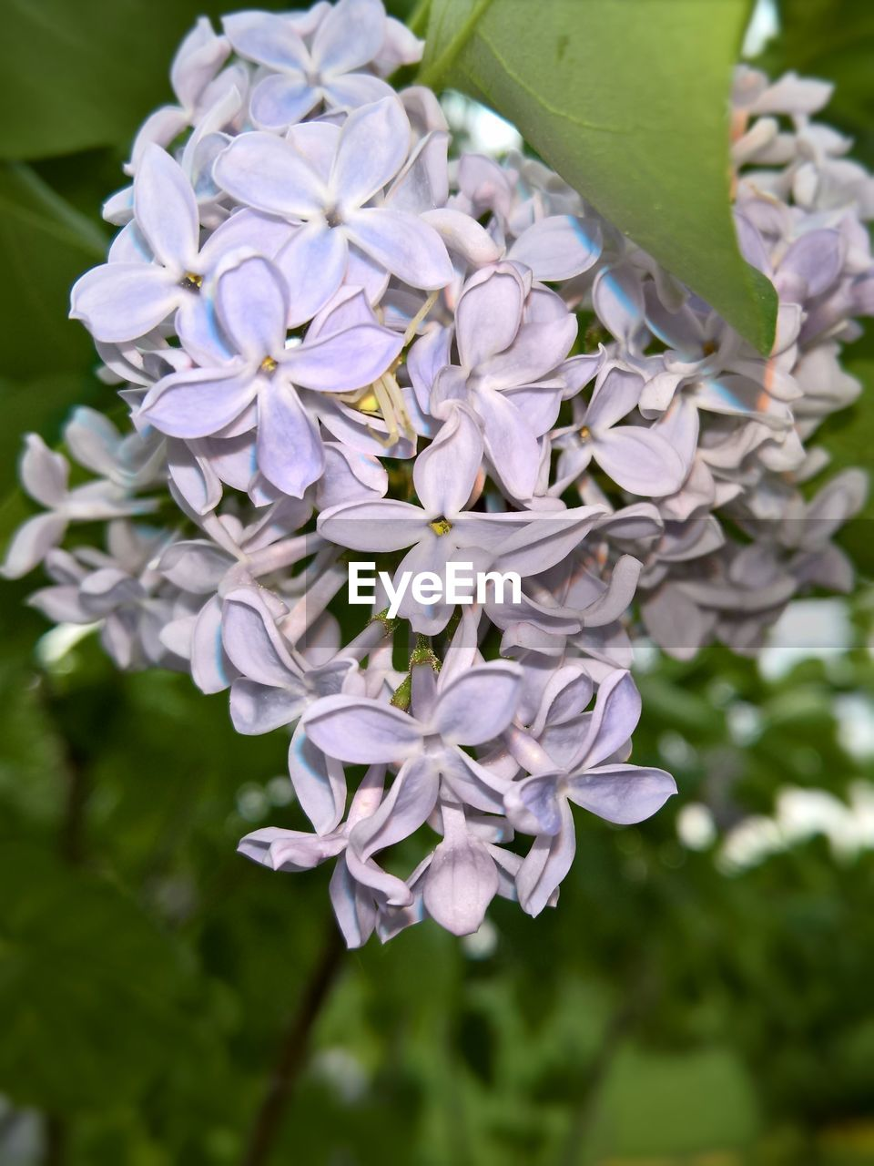 flower, flowering plant, plant, fragility, beauty in nature, vulnerability, freshness, petal, growth, close-up, focus on foreground, inflorescence, flower head, nature, day, no people, white color, purple, outdoors, lilac, bunch of flowers