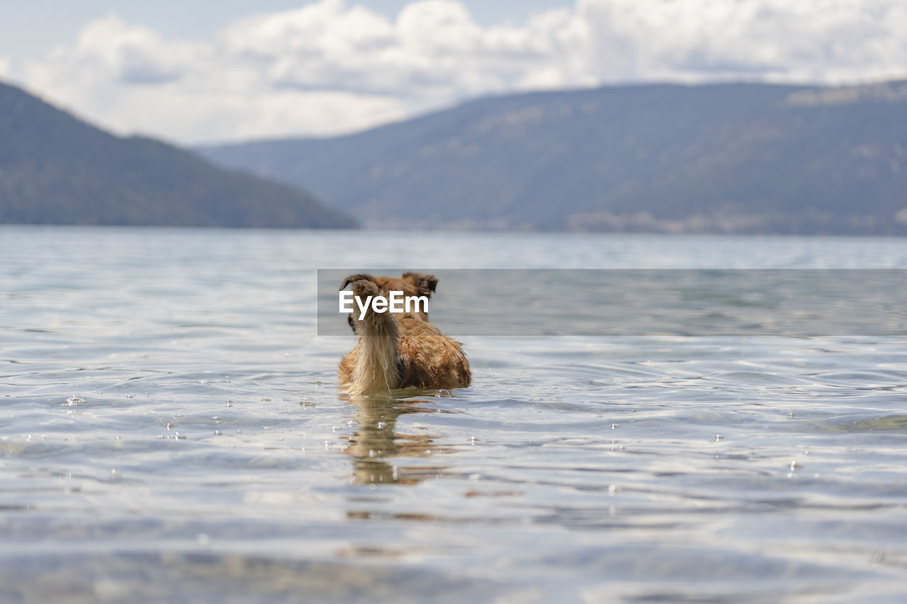 mammal, animal themes, animal, water, one animal, mountain, domestic animals, waterfront, vertebrate, animal wildlife, swimming, lake, pets, day, animals in the wild, domestic, canine, dog, nature, no people, outdoors