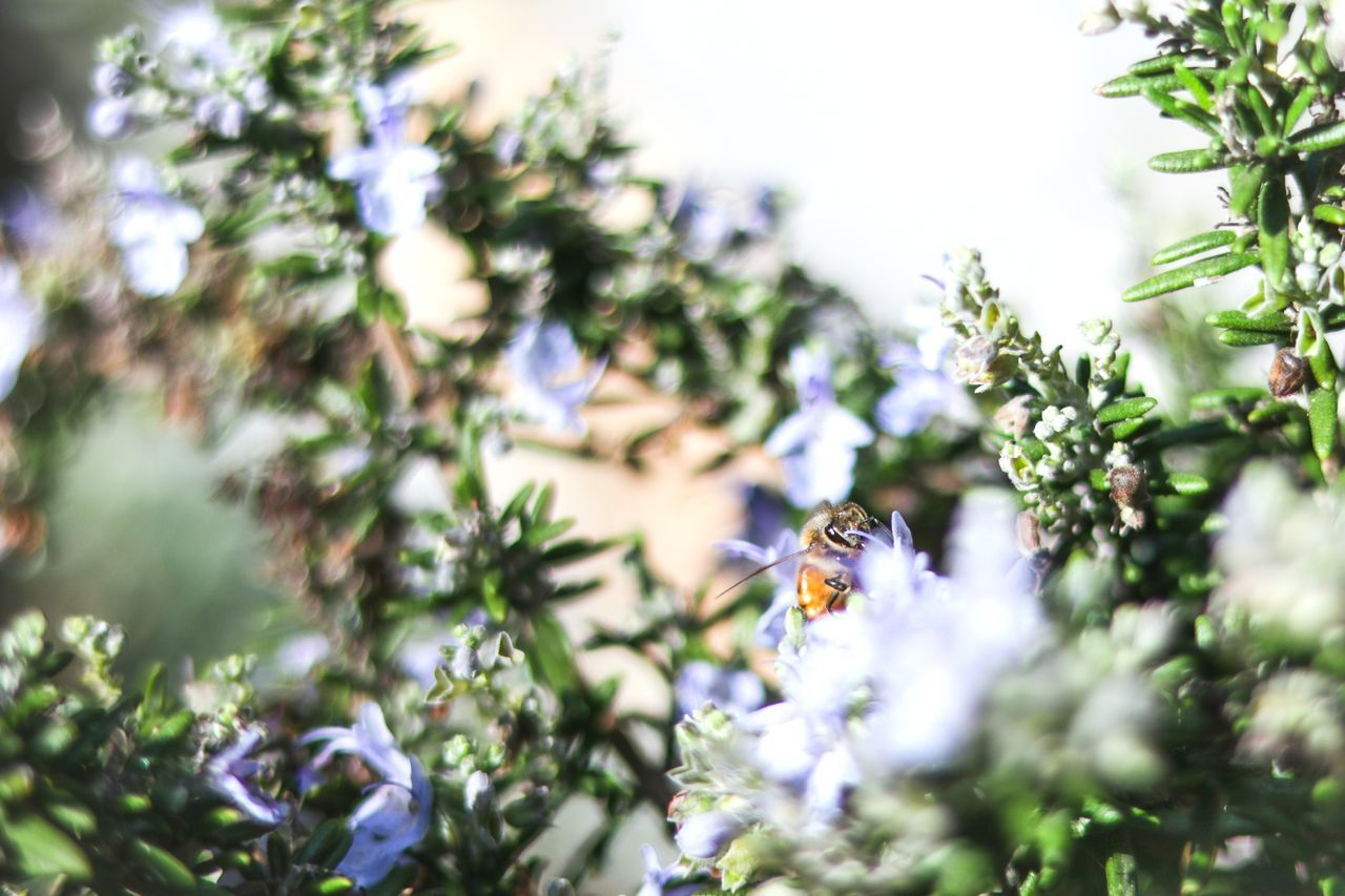 plant, flowering plant, flower, growth, invertebrate, insect, selective focus, freshness, day, no people, animal themes, fragility, vulnerability, animal wildlife, animals in the wild, bee, one animal, beauty in nature, animal, nature, flower head, pollination, purple