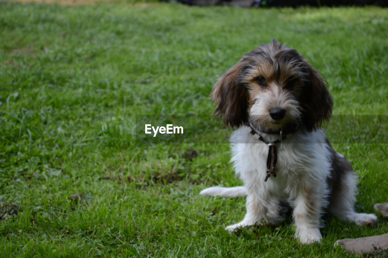 one animal, mammal, domestic, pets, dog, canine, domestic animals, animal themes, grass, animal, plant, field, portrait, looking at camera, land, vertebrate, green color, no people, nature, day, small, shih tzu
