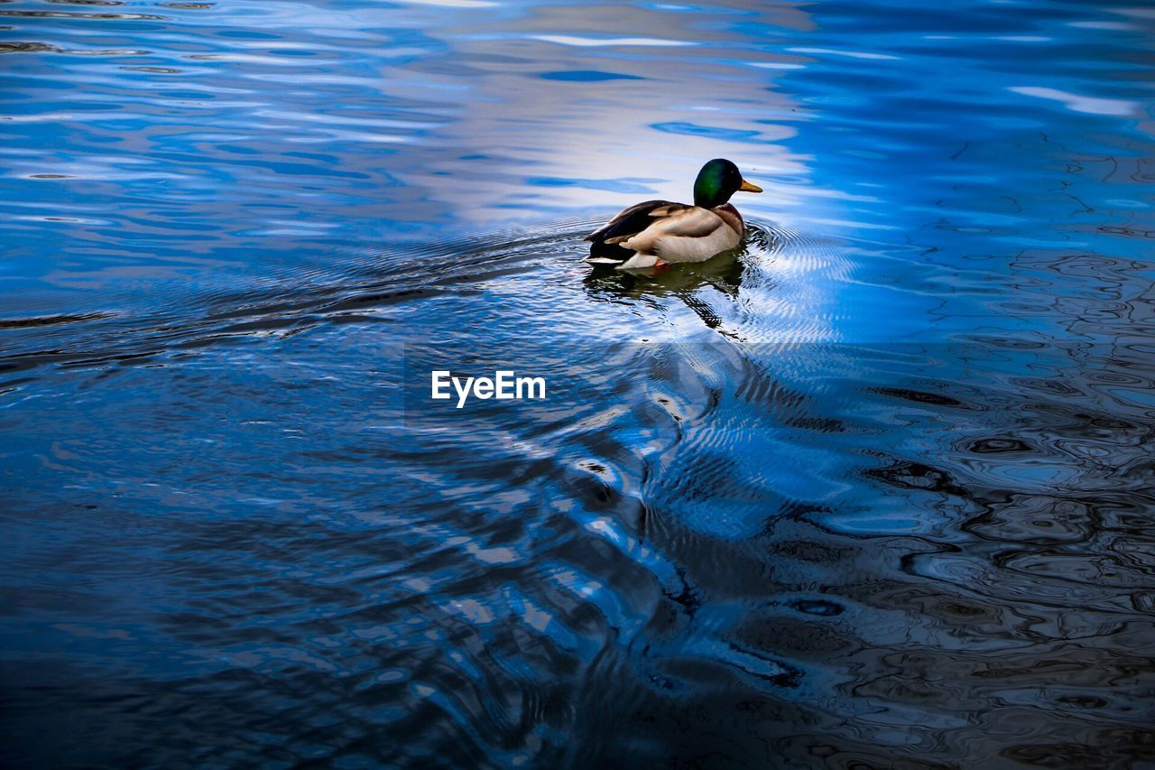 water, bird, animal themes, animals in the wild, vertebrate, animal wildlife, animal, swimming, one animal, waterfront, lake, no people, rippled, high angle view, duck, day, nature, poultry, water bird, floating on water