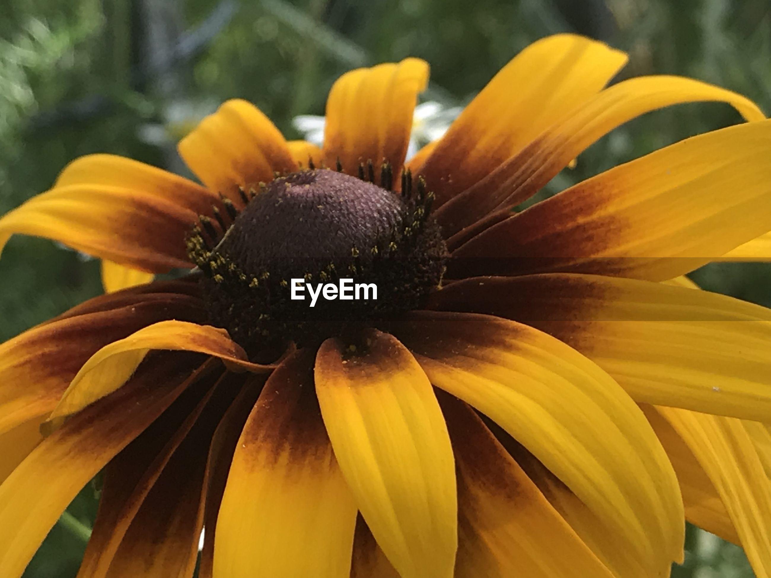 CLOSE-UP OF YELLOW POLLEN ON ORANGE FLOWER
