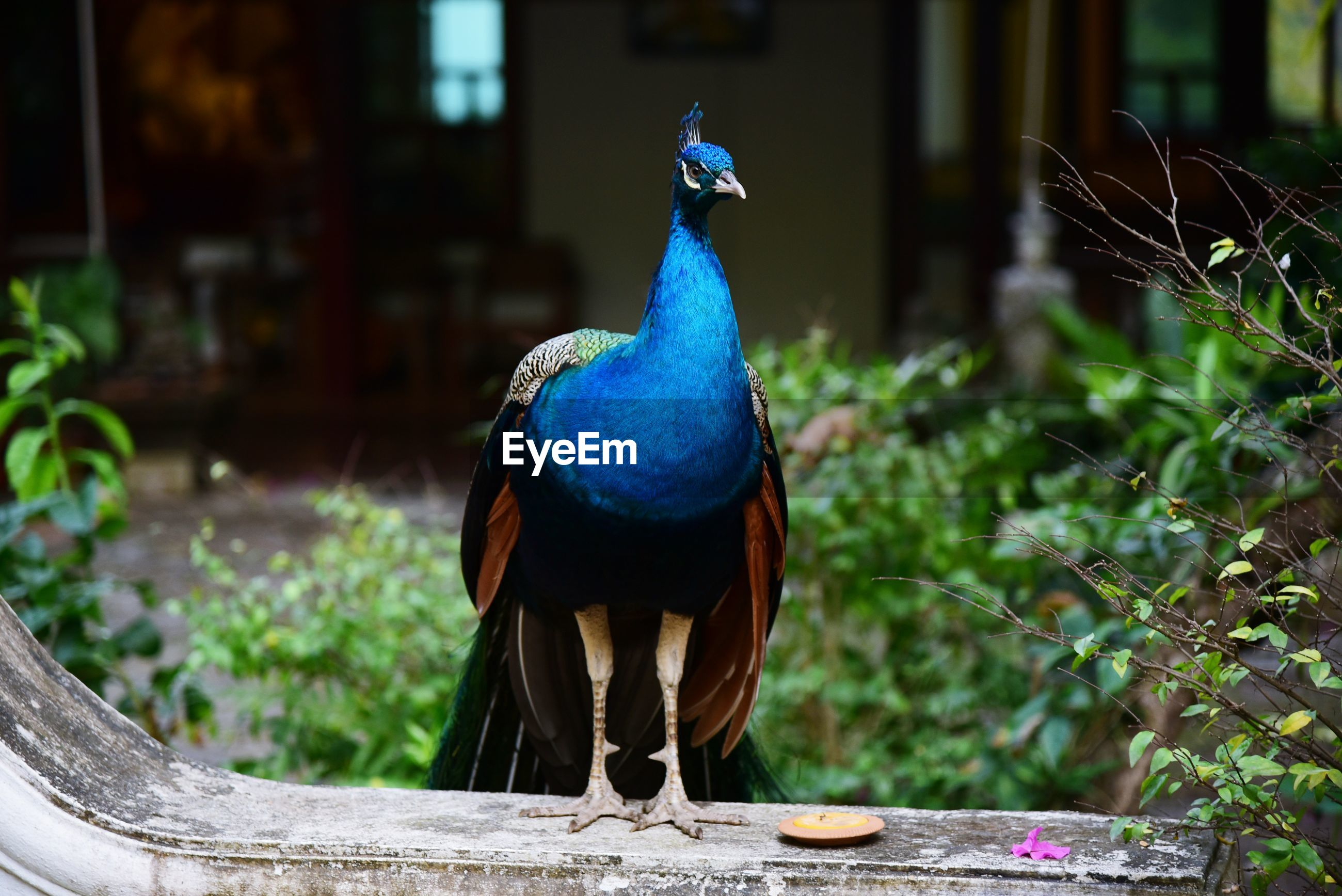 High angle view of a peacock