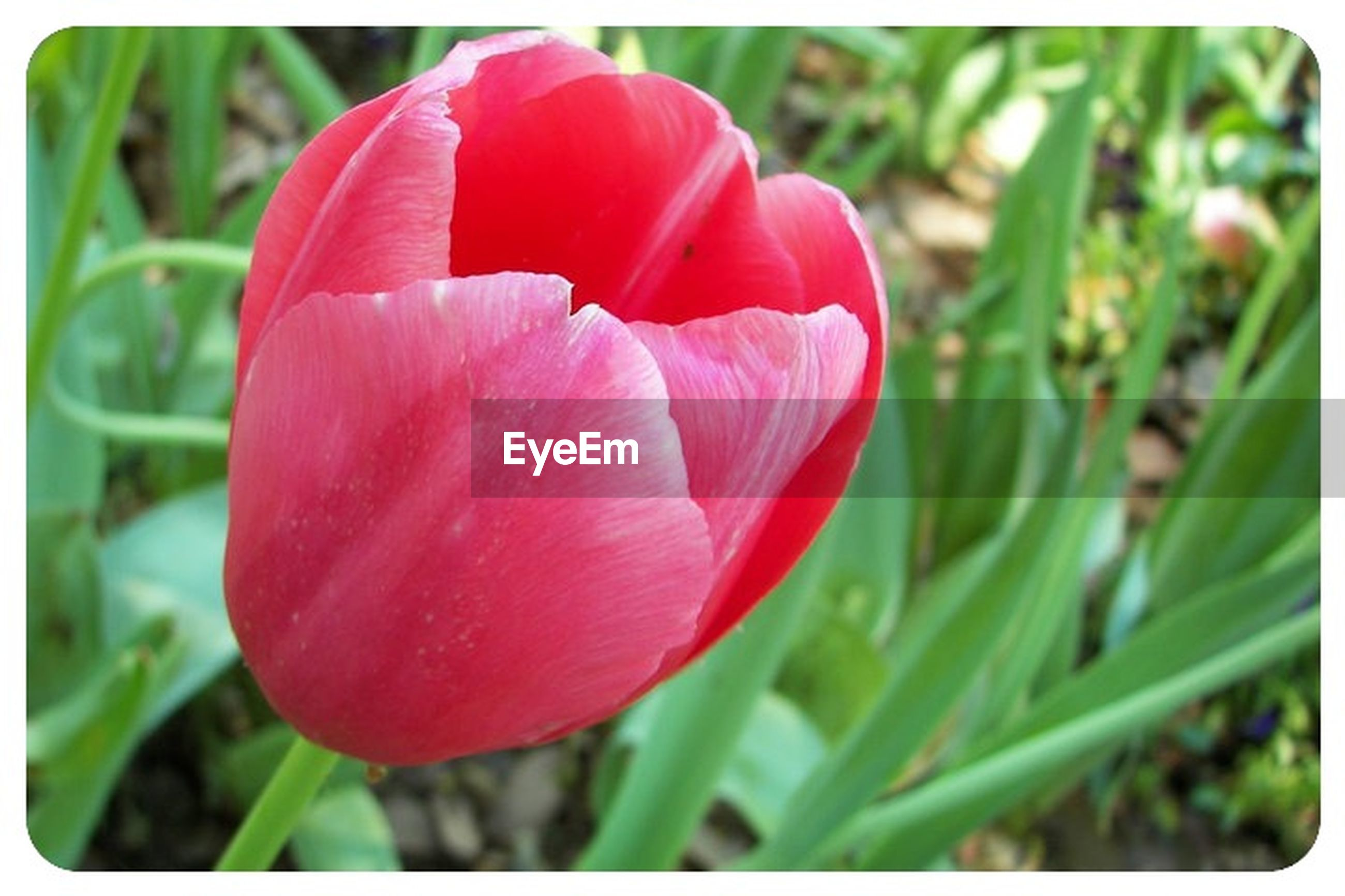transfer print, flower, petal, freshness, growth, flower head, fragility, red, auto post production filter, beauty in nature, close-up, focus on foreground, single flower, nature, plant, tulip, field, blooming, stem, pink color