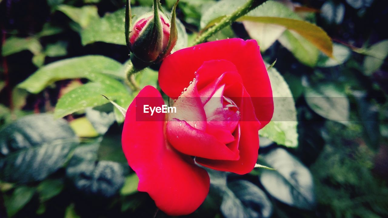 beauty in nature, nature, petal, flower, fragility, red, growth, freshness, flower head, close-up, plant, rose - flower, no people, day, outdoors, blooming