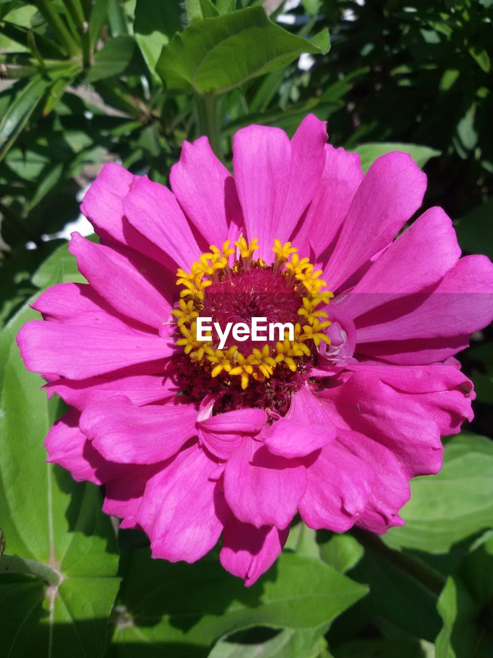 flower, petal, beauty in nature, nature, fragility, flower head, growth, freshness, blooming, plant, pollen, no people, outdoors, pink color, day, leaf, zinnia, close-up