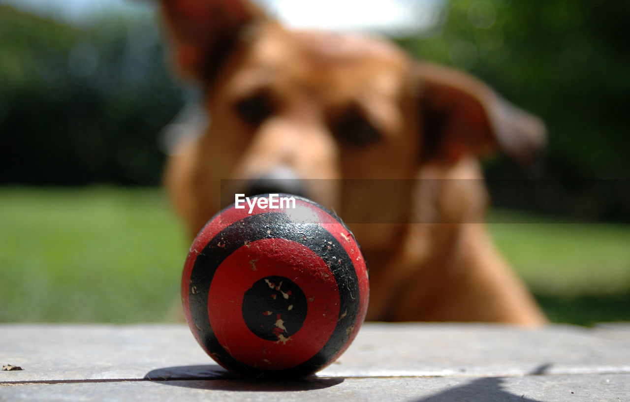 ball, one animal, focus on foreground, dog, canine, day, mammal, close-up, animal, no people, sphere, animal themes, domestic animals, domestic, pets, selective focus, nature, sunlight, sport, outdoors