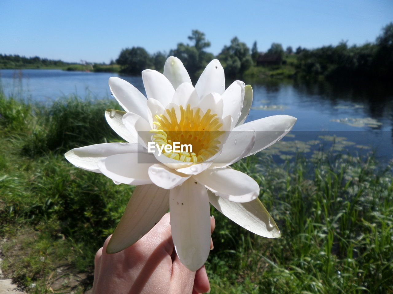 flower, human hand, nature, human body part, beauty in nature, petal, one person, holding, real people, freshness, plant, white color, outdoors, flower head, day, growth, lake, fragility, close-up, focus on foreground, water, people