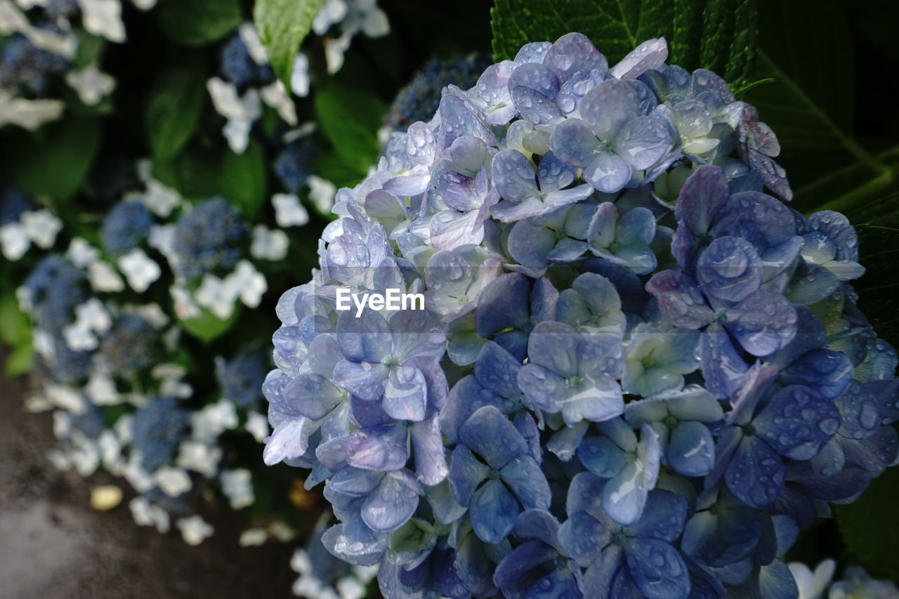 flower, beauty in nature, hydrangea, nature, fragility, petal, growth, no people, day, plant, freshness, focus on foreground, outdoors, blooming, flower head, close-up