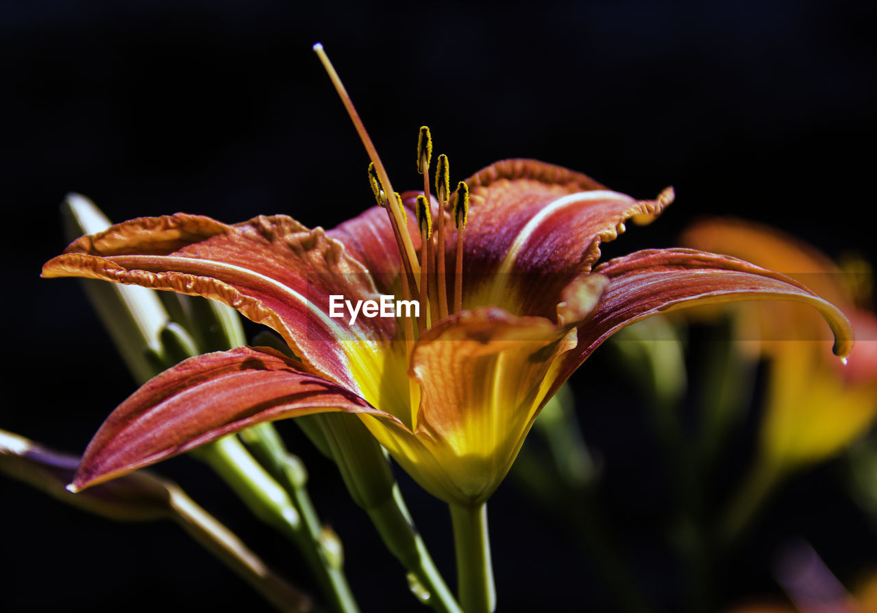 flower, petal, fragility, freshness, flower head, growth, beauty in nature, plant, nature, close-up, day lily, lily, no people, blooming, studio shot, outdoors, black background, day