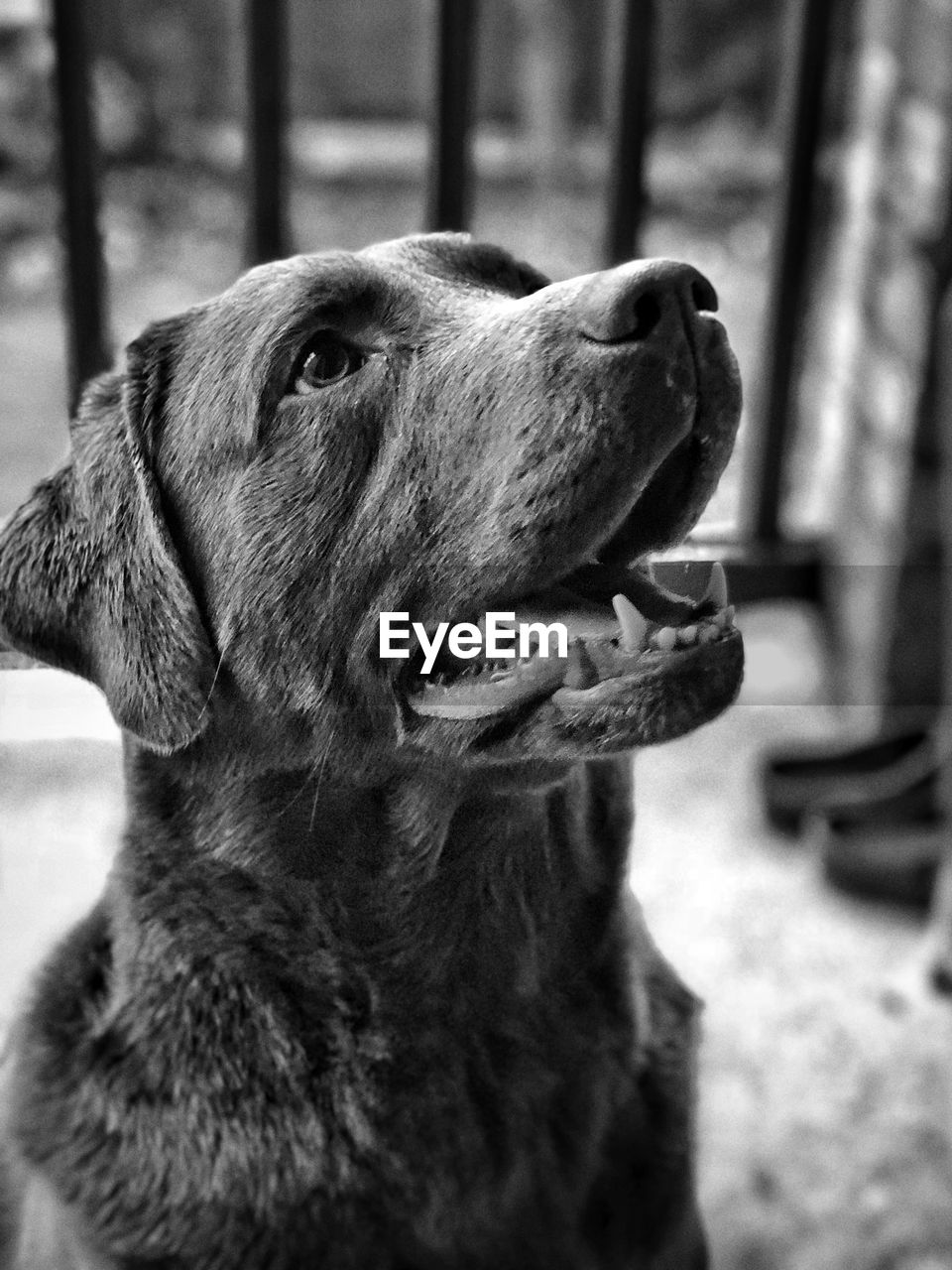 one animal, dog, canine, animal themes, pets, domestic animals, domestic, animal, mammal, vertebrate, looking, focus on foreground, close-up, looking away, no people, animal body part, day, mouth, mouth open, animal head, purebred dog, animal mouth, aggression