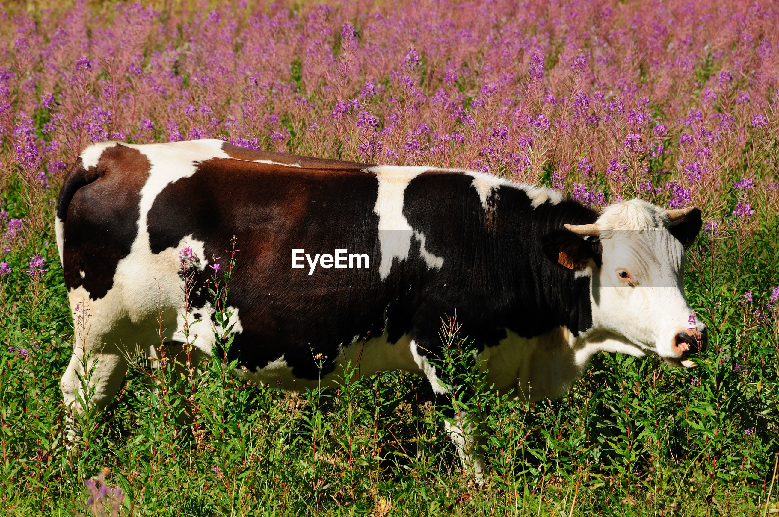 COW STANDING ON FIELD BY PLANTS