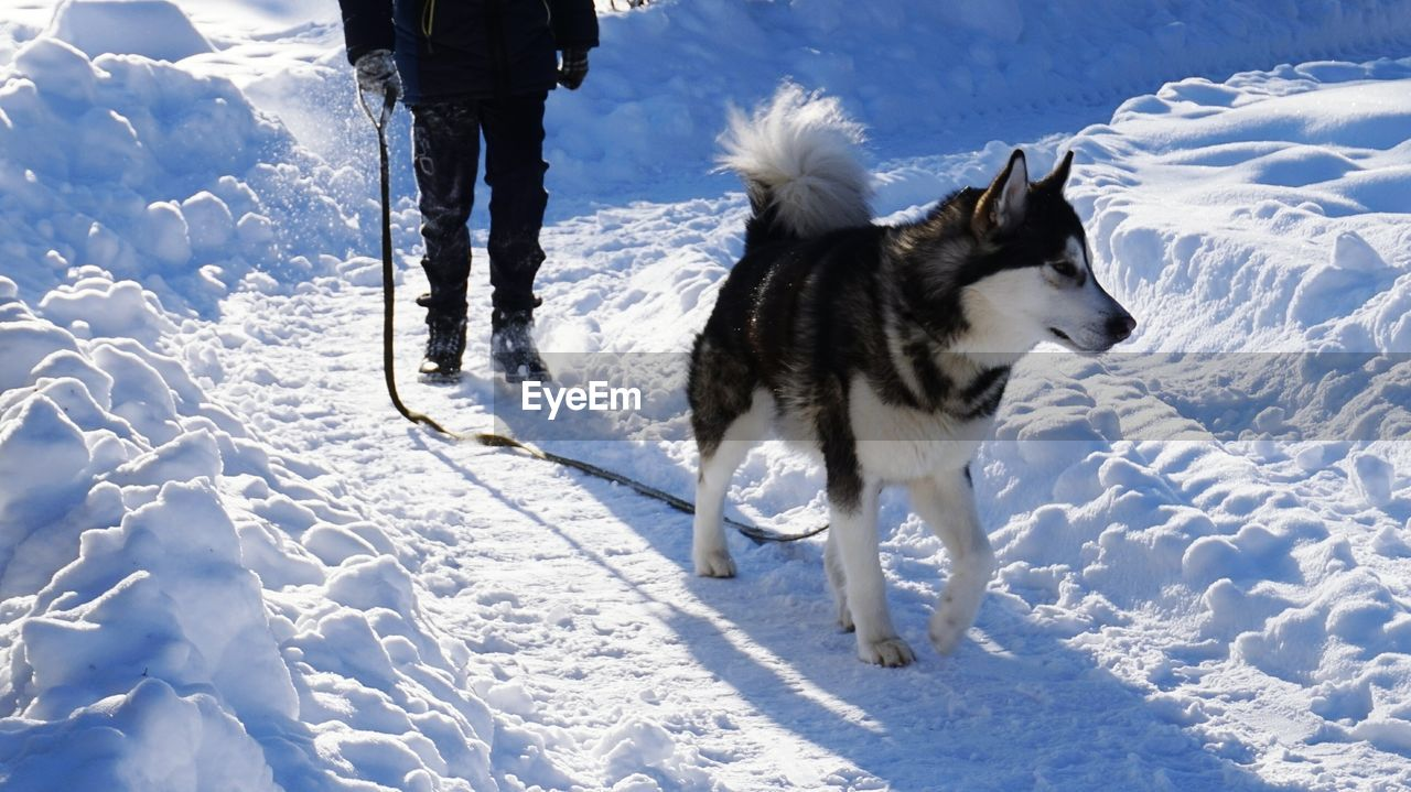 Low Section Of Person With Siberian Husky On Snow Covered Field