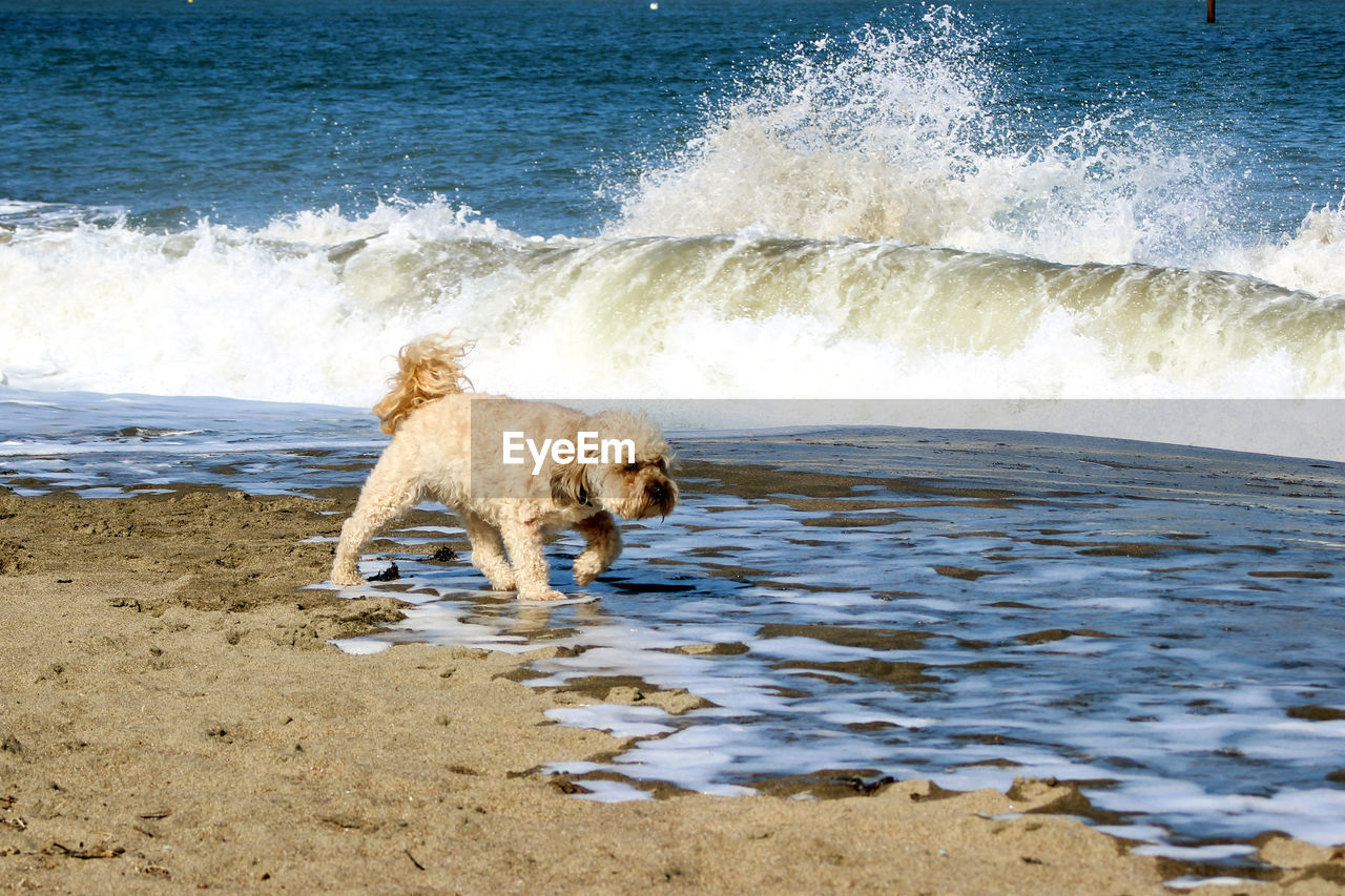 mammal, animal themes, animal, water, one animal, sea, canine, dog, motion, domestic animals, pets, domestic, beach, surfing, land, wave, sand, nature, day, outdoors, small