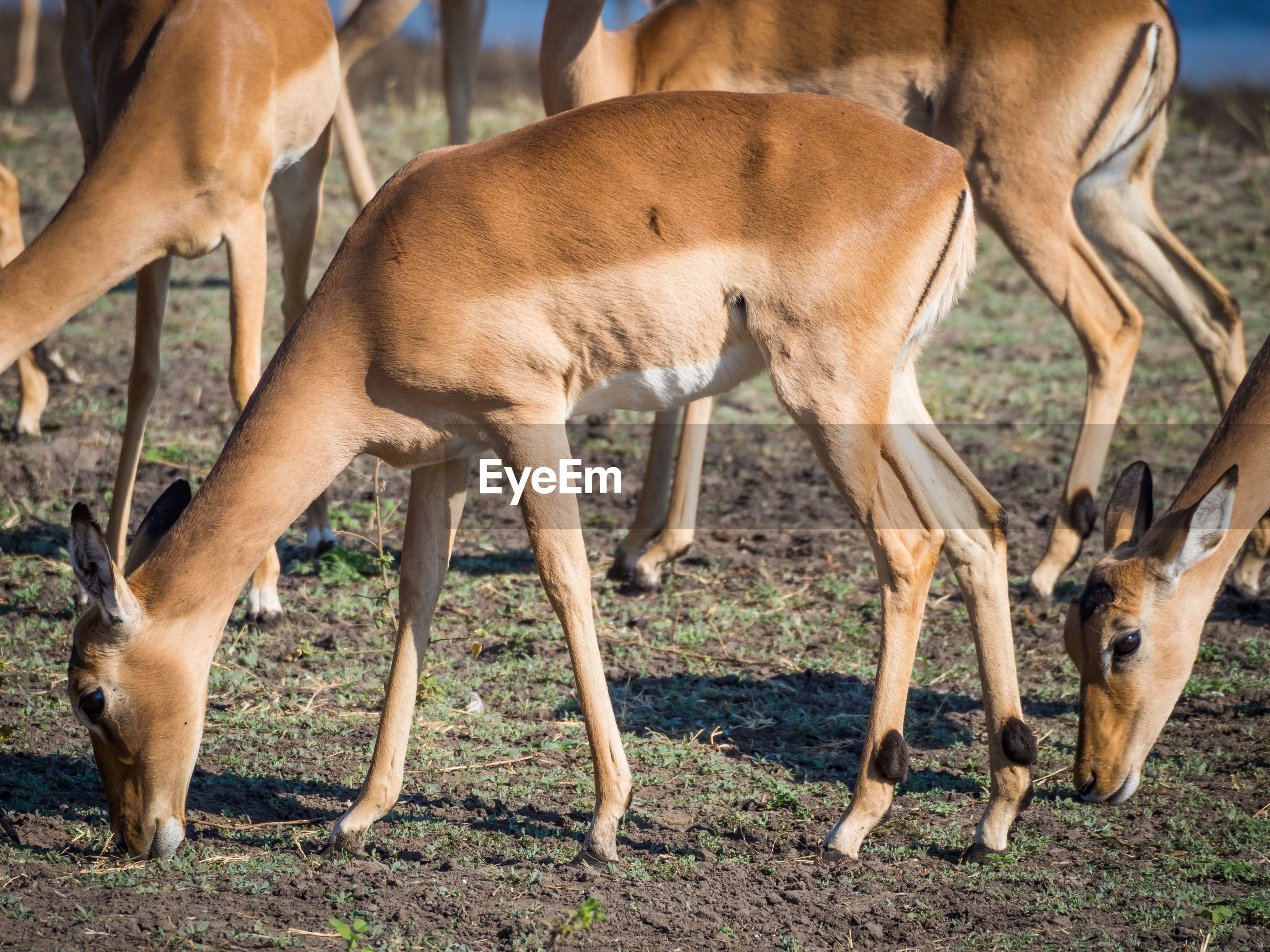 Close-up of impala antelopes grazing at chobe national park, botswana