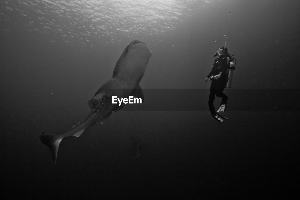 Whale Shark With Scuba Diver In Sea