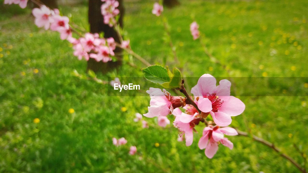 flowering plant, flower, plant, fragility, freshness, growth, vulnerability, beauty in nature, pink color, petal, close-up, nature, day, flower head, inflorescence, field, green color, selective focus, no people, focus on foreground, outdoors, springtime, pollen, pollination