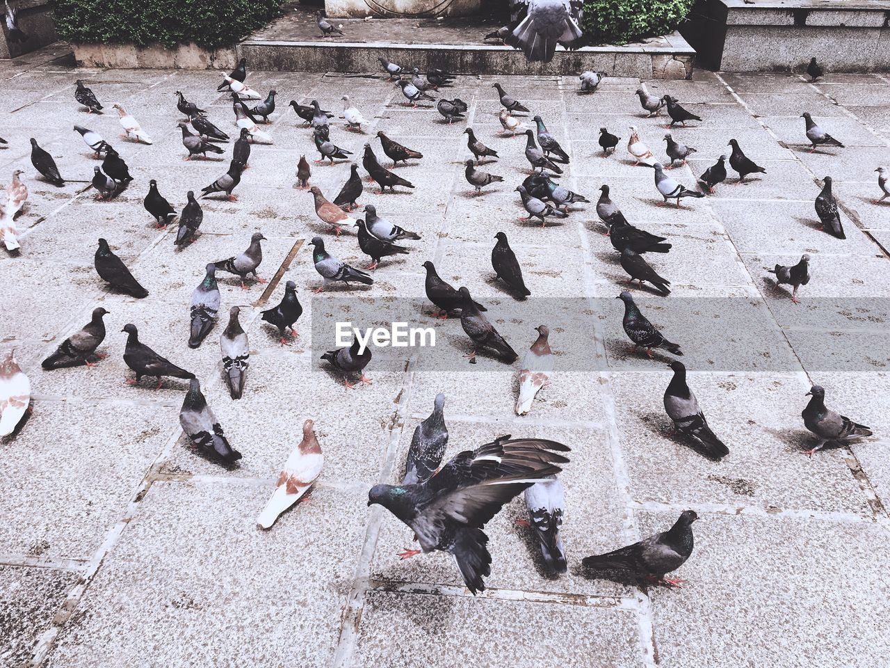 large group of animals, animal themes, group of animals, animal wildlife, animal, animals in the wild, vertebrate, bird, pigeon, high angle view, flock of birds, day, nature, flying, no people, outdoors, feeding, street, footpath, city, flapping