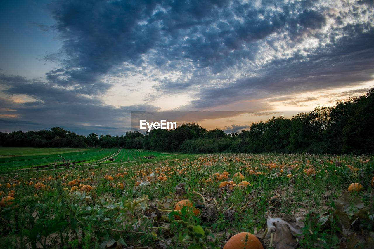 nature, agriculture, field, growth, tranquility, landscape, beauty in nature, sky, cloud - sky, tranquil scene, scenics, rural scene, sunset, crop, plant, outdoors, no people, tree, day, freshness