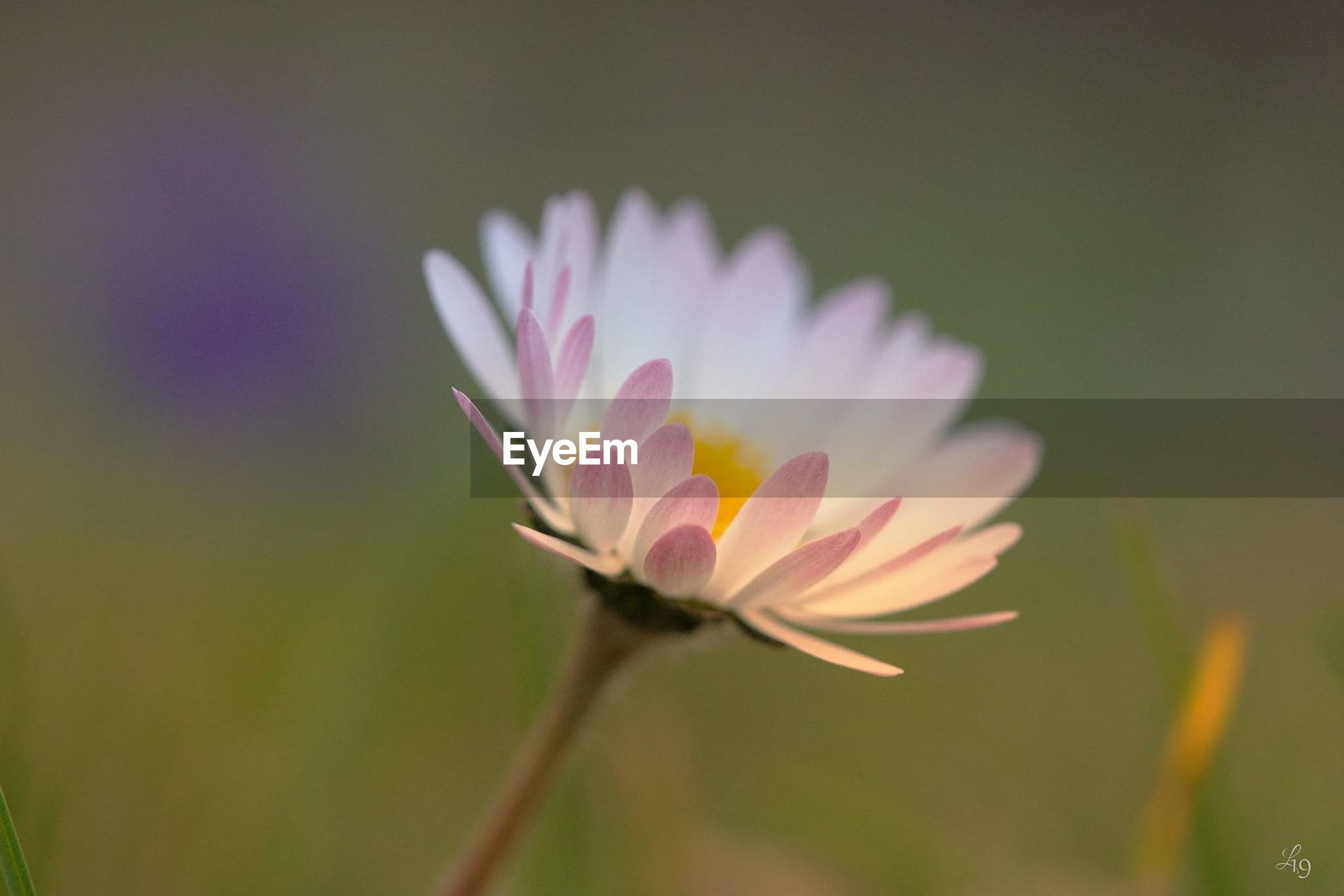 flowering plant, flower, freshness, vulnerability, fragility, plant, beauty in nature, close-up, petal, inflorescence, flower head, growth, nature, no people, water lily, pink color, focus on foreground, plant stem, selective focus, pollen, purple, sepal