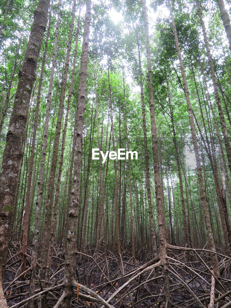 LOW ANGLE VIEW OF BAMBOO TREES IN THE FOREST