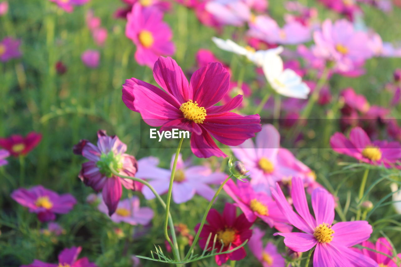 flower, petal, fragility, beauty in nature, growth, nature, blooming, flower head, plant, freshness, no people, day, cosmos flower, field, outdoors, pink color, focus on foreground, close-up, osteospermum, eastern purple coneflower, zinnia