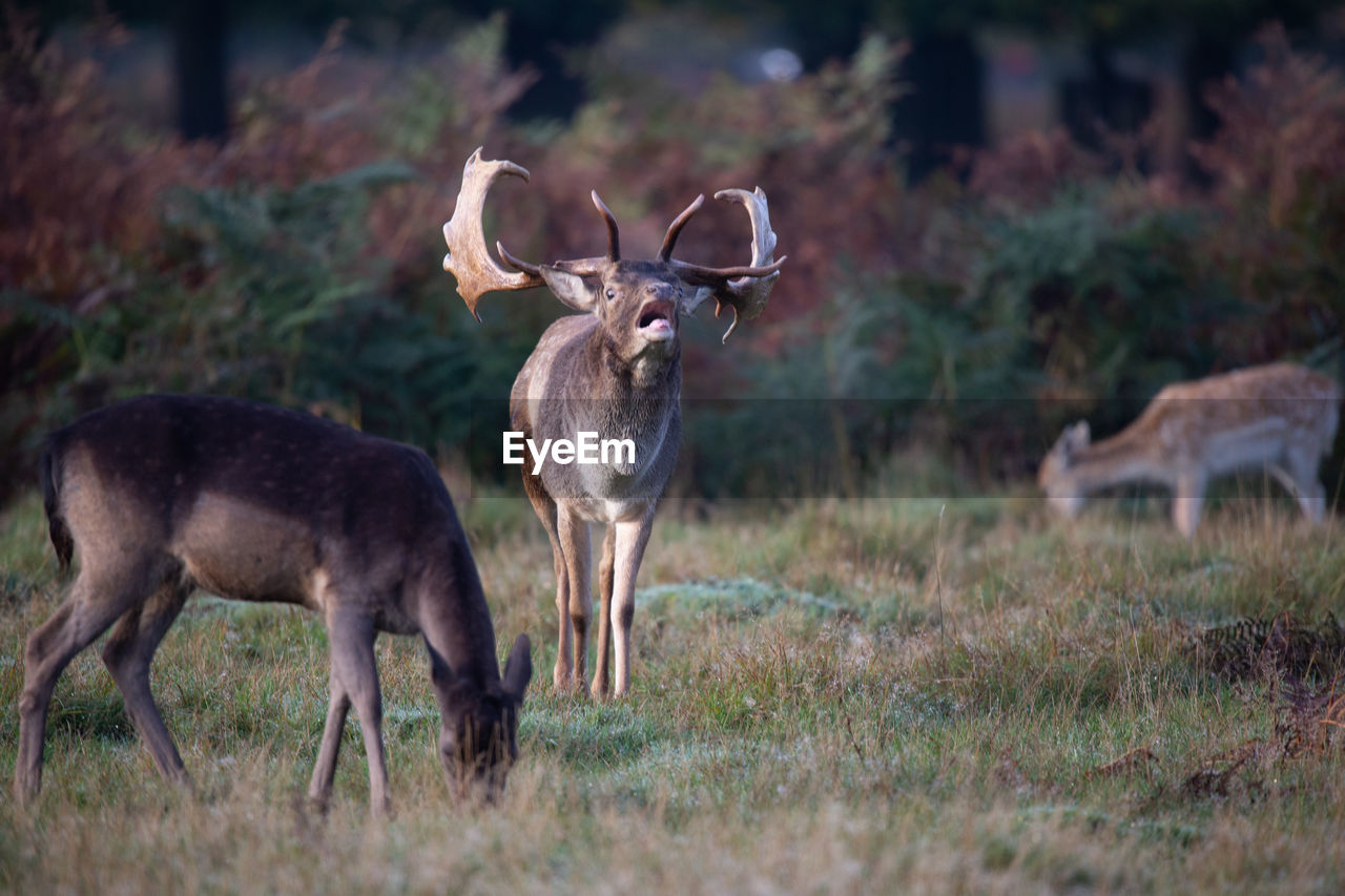 animal, animal wildlife, land, animal themes, deer, field, animals in the wild, mammal, group of animals, grass, vertebrate, plant, standing, no people, nature, day, domestic animals, two animals, antler, herbivorous, outdoors, herd