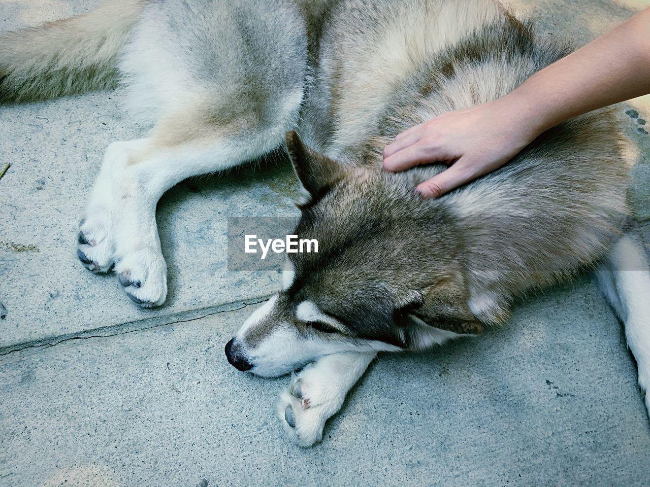 Cropped image of hand on siberian husky