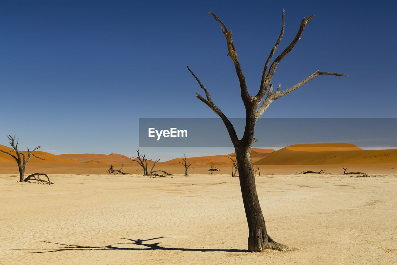 Bare Tree On Sand Dune Against Clear Blue Sky