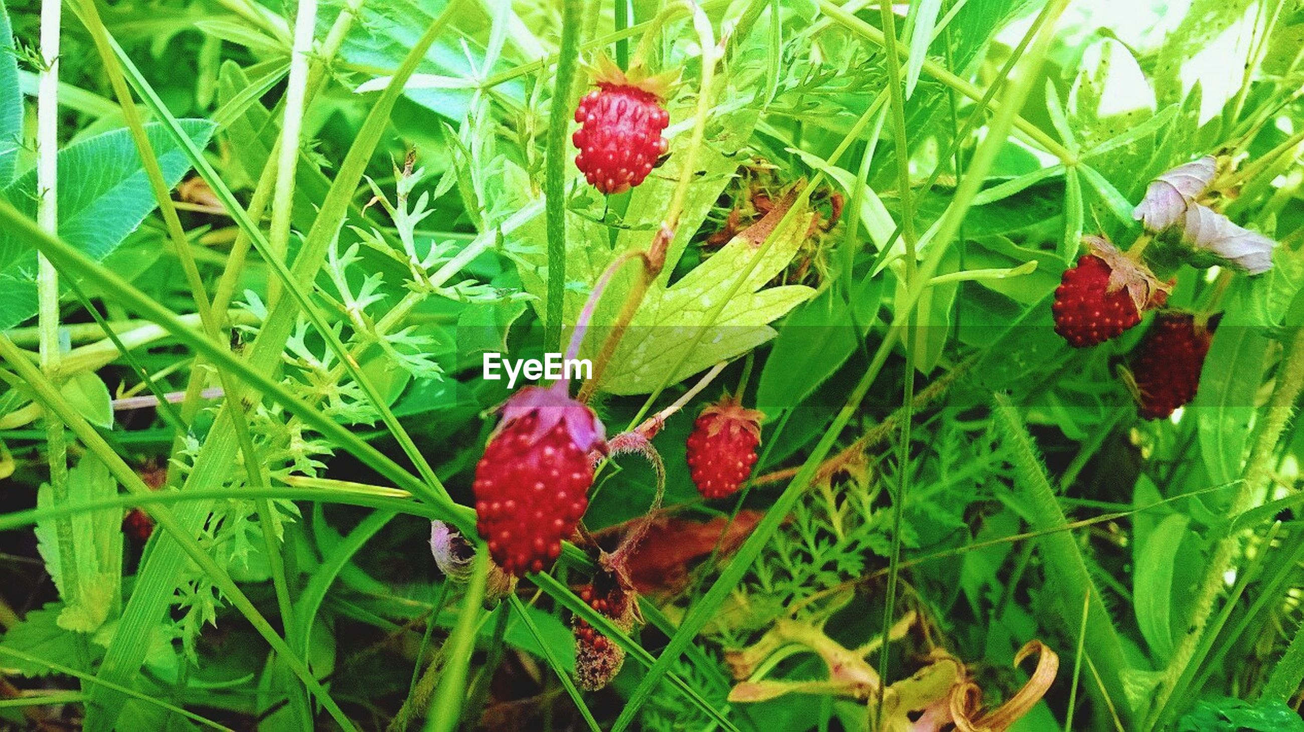red, growth, freshness, plant, fruit, green color, leaf, nature, food and drink, beauty in nature, field, growing, close-up, flower, berry fruit, day, grass, outdoors, food, no people