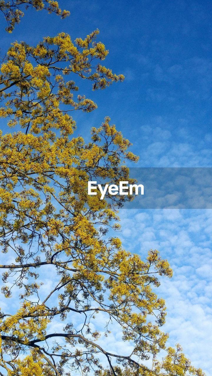 tree, sky, low angle view, nature, beauty in nature, growth, blue, day, no people, outdoors, cloud - sky, tranquility, branch, scenics, blue sky, freshness, close-up