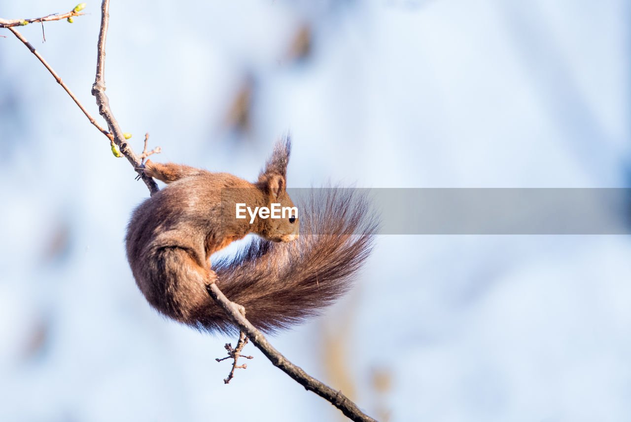 mammal, animal themes, animal, one animal, branch, animal wildlife, rodent, tree, no people, focus on foreground, day, animals in the wild, squirrel, vertebrate, nature, low angle view, plant, close-up, selective focus, outdoors, whisker