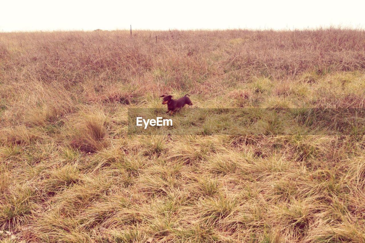 Dachshund dog running on field against sky