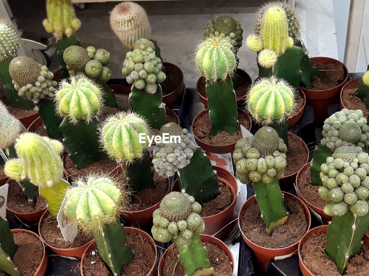 succulent plant, cactus, large group of objects, no people, green color, freshness, potted plant, for sale, abundance, container, retail, choice, day, market, variation, growth, plant, nature, high angle view, close-up, sale, retail display
