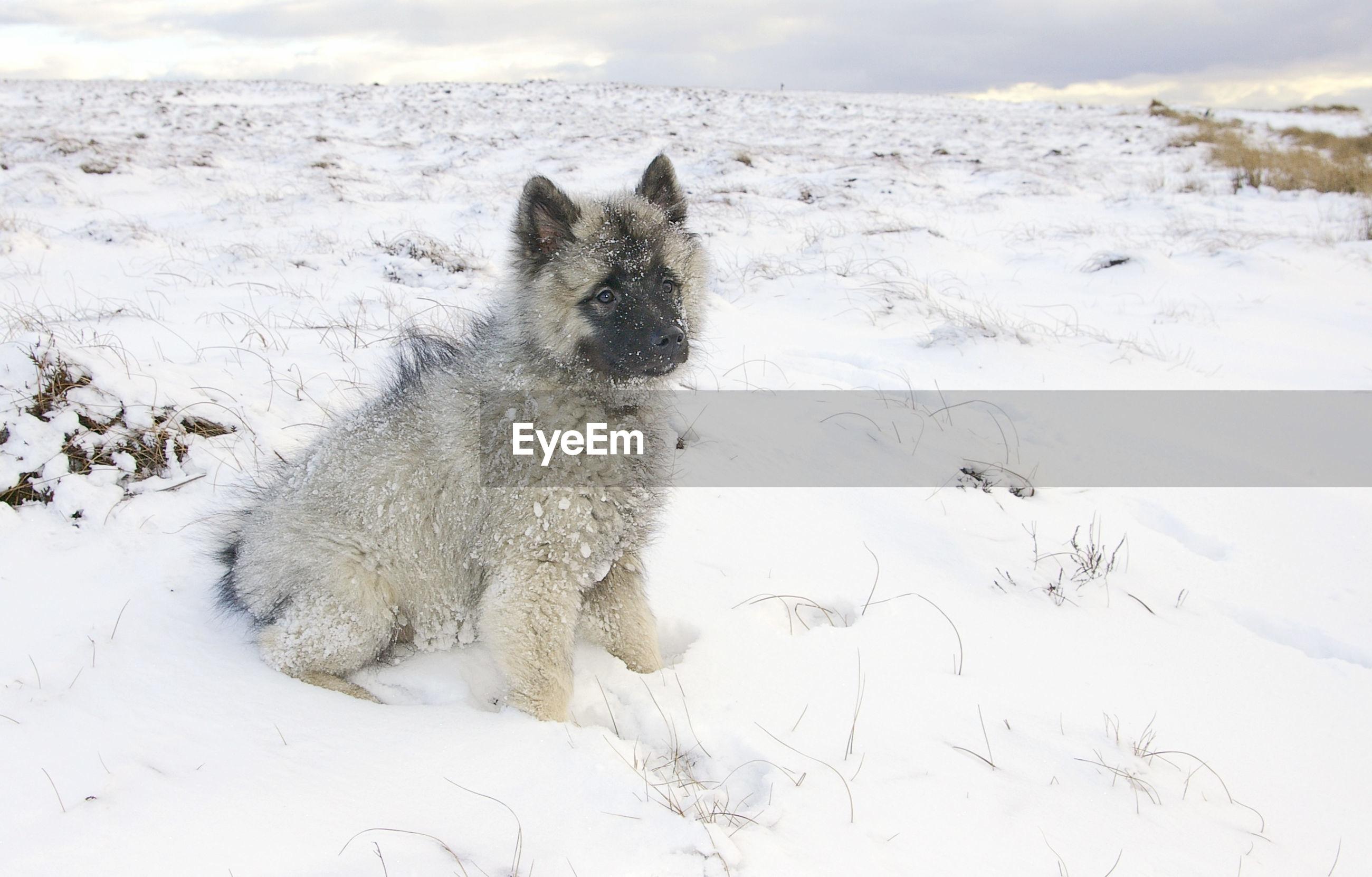 Keeshond looking away on snowcapped field